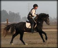 Highlight for Album: Connemara Ponies of Redbud Ranch, USA