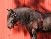 Highlight for Album: Thornville Dan, Baroque Farm Dales Ponies, US