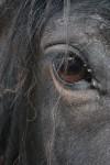 William's Eye, Fell Pony Gelding