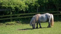 Highlight for Album: Hareghyll bugle boy standard shetland stallion