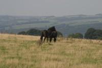 Highlight for Album: Quicksill Dales Ponies
