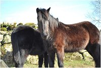 dartmoor hill ponies