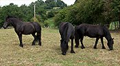 native ponies fell, dales, connemara, british spotted, coloured, dartmoor, eriskay, exmoor, highland, new forest, shetland, welsh